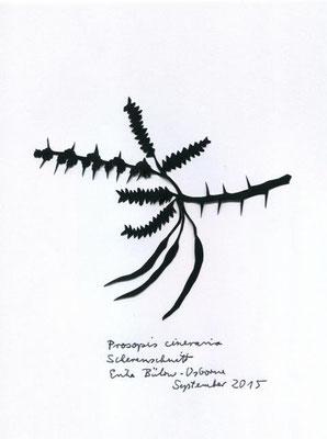 Prosopis cineracia