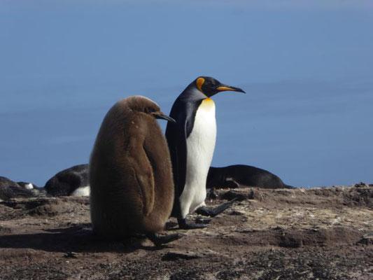 Königs Pinguin mit Küken
