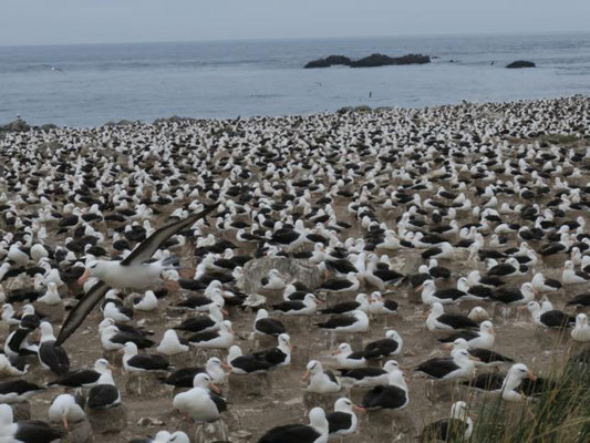 Albatros Kolonie