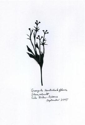 Guayule Kautschuk
