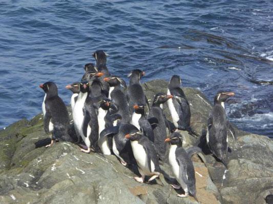 Felsen Pinguine