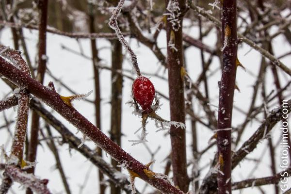 Шипвник в снегу.
