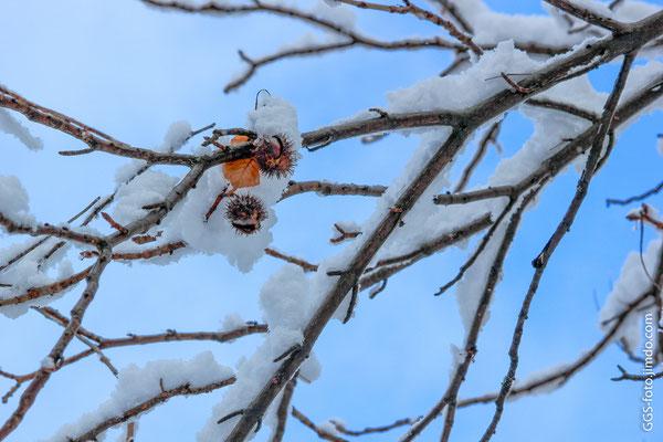 Каштаны на дереве.
