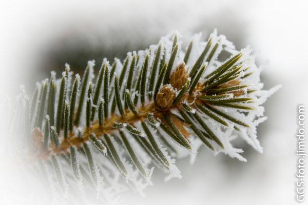 Еловая ветка в снегу .