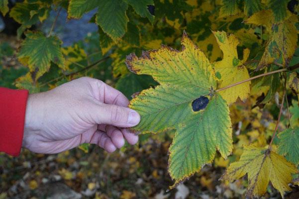 Jean-Michel Picot alerte également sur les érables sycomores. Toutes les feuilles de ces arbres présentent depui peu une tâche noire.