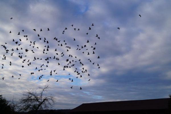 La Chapelle-Monthodon : des centaines de pigeons ont élu domicile sur le clocher de l'édifice religieux.