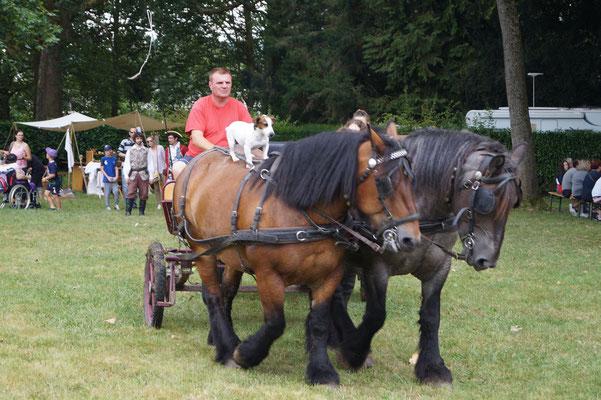 Au caractère conciliant, le cheval de trait ardennais est trapu, près du sol et puissant.