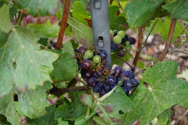 Les sansonnets  prélèvent  les raisins mûrs sur une grappe puis passent à la suivante.