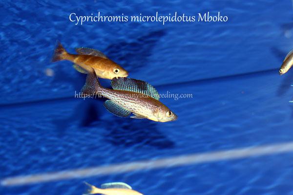 циприхромис, циприхромис микролепидоту, циприхромис микролепидотус мбоко, ципризпомис мбоко, микролепидотус мбоко, Cyprichromis microlepidotus mboko, Cyprichromis microlepidotus, Cyprichromis microlepidotus mboko, Cyprichromis mboko