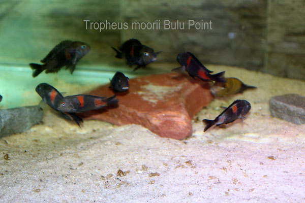 Tropheus moorii Bulu Point