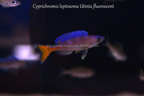 циприхромис, циприхромис лептозома, циприхромис лептозома утинта, циприхромис утинта, циприхромис утинта флуоресцент, циприхромис лептозома утинта флуоресцент, cyprichromis, cyprichromis leptosoma, cyprichromis leptosoma utinta, cyprichromis utinta