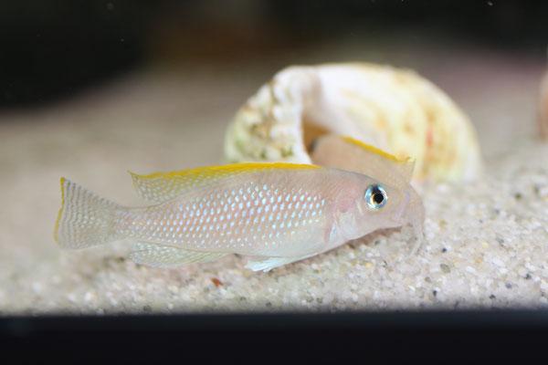 Неолампрологус каудопунктатус, Neolamprologus caudopunctatus