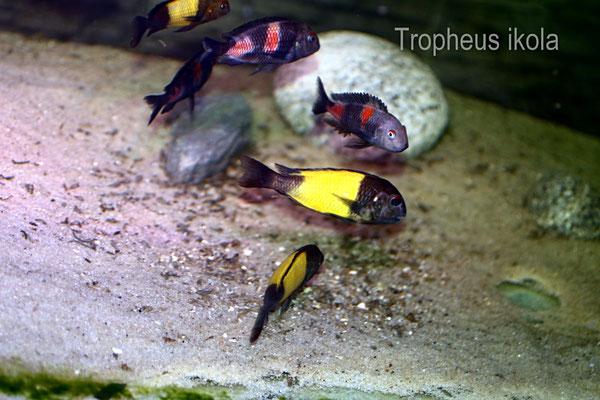 Tropheus ikola WF