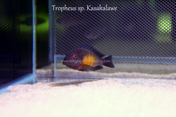 трофеус, трофеус касакалаве, трофеус мура, трофеус мура касакалаве, tropheus, tropheus moorii, tropheus moorii kasakalawe, tropheus kasakalawe