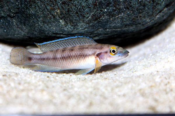 Neolamprologus bifasciatus самец