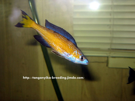 Cyprichromis microlepidotus Kassei