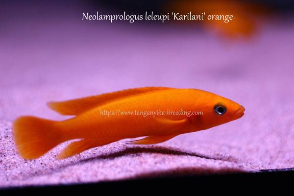 неолампрологус, неолампрологус лелеупи, неолампрологус лелеупи оранж, лампрологус оранж, лелеупи оранж, Neolamprologus, Neolamprologus leleupi, Neolamprologus leleupi orange, Neolamprologus orange, leleupi orange