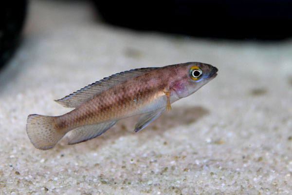 Neolamprologus bifasciatus самка