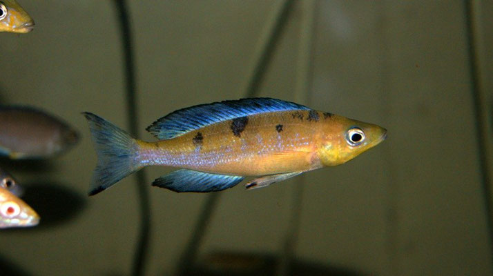 циприхромис, циприхромис микролепидотус, циприхромис микролепидотус кассей, циприхромис кассей, микролепидотус кассей, cyprichromis, cyprichromis microlepidotus, cyprichromis microlepidotus kassei, cyprichromis kassei, microlepidotus kassei