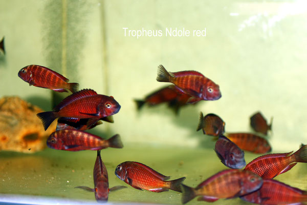 Tropheus Ndole red