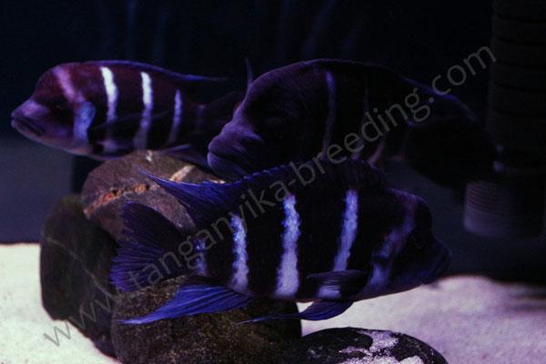 Cyphotilapia gibberosa blue Zaire Moba (wild)