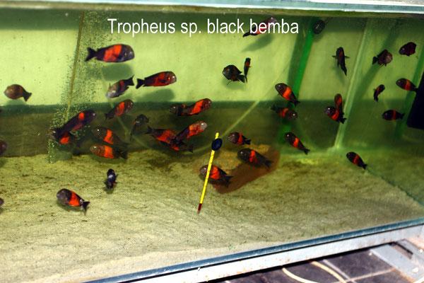 трофеус, трофеус бемба, трофеус блек бемба, tropheus, tropheus sp., tropheus sp. black, tropheus sp. black bemba, tropheus sp. bemba, tropheus bemba