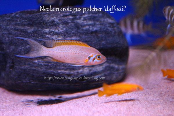 Neolamprologus, Neolamprologus pulcher, Neolamprologus pulcher 'daffodil', неолампрологус, неолампрологус пульхер, неолмпрологус даффодил, неолампрологус пульхер даффодил