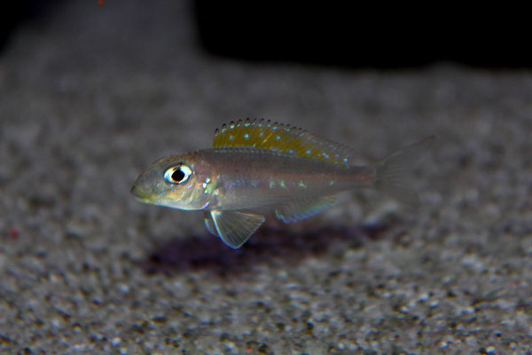 Xenotilapia flavipinnis isanga