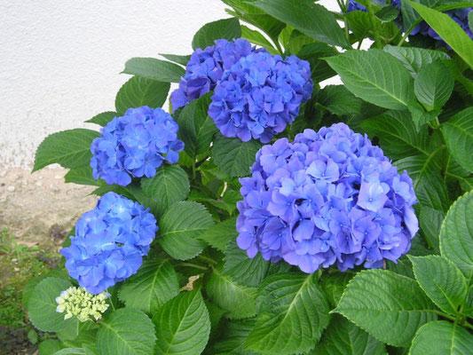 デイケアルーム:9F 天空の庭で咲いた紫陽花