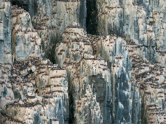 Alkefjellet Dickschnabellummen