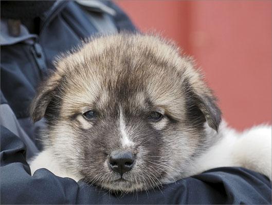 Qeqertarsuaq Schlittenhunde (Welpe)