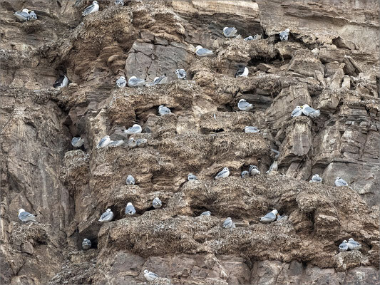 Kongsfjord brütende Dreizehenmöwen
