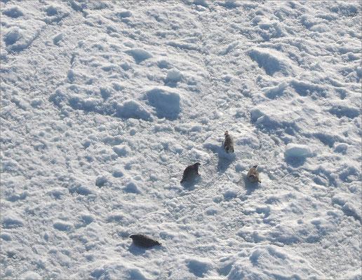 Rundflug Kangia-Eisfjord Robben