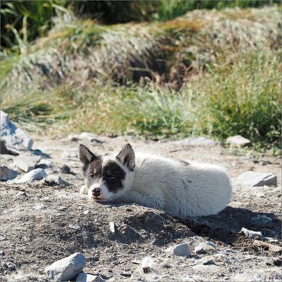 Ilulissat - Schlittenhund