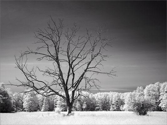 Duvenstedter Brook - toter Baum