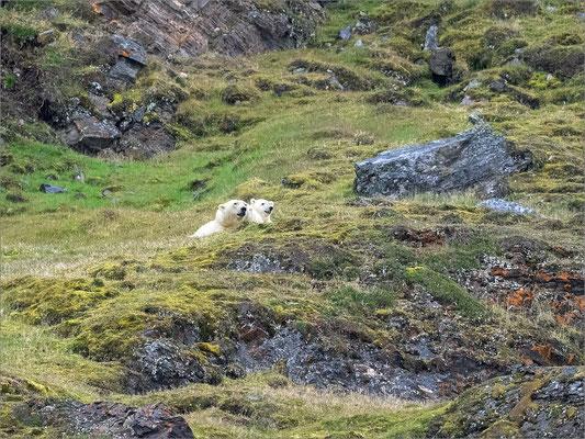 Kongsfjord Eisbären
