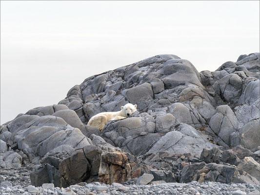 Karl XII-øya Insel Eisbär