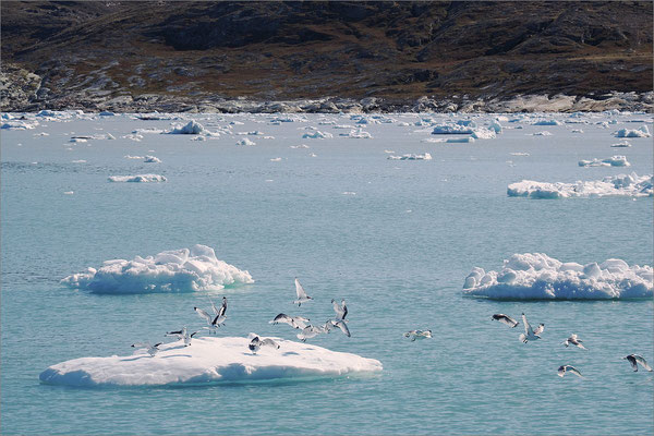 Eqi - Gletscher Eisberg mit Möwen