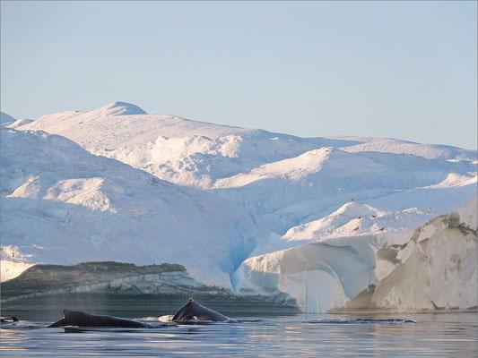 Buckelwale - Ilulissat