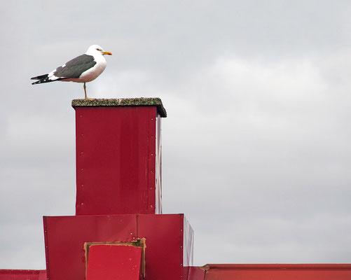 Färöer Tórshavn - Möwe auf rotem Dach
