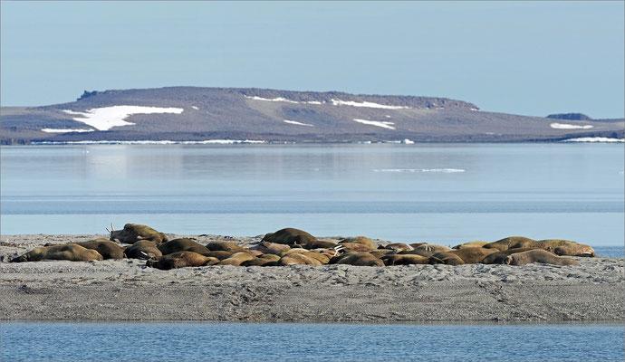 Wahlbergøya Walrosskolonie
