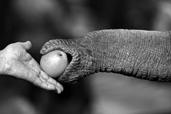 Begegnung Asiatischer Elefant und Mensch