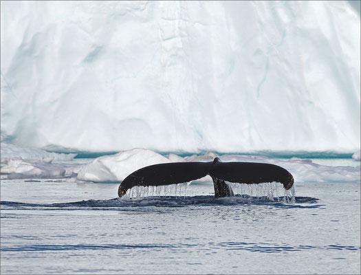Buckelwal - Ilulissat