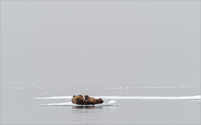 Walross auf Eisscholle