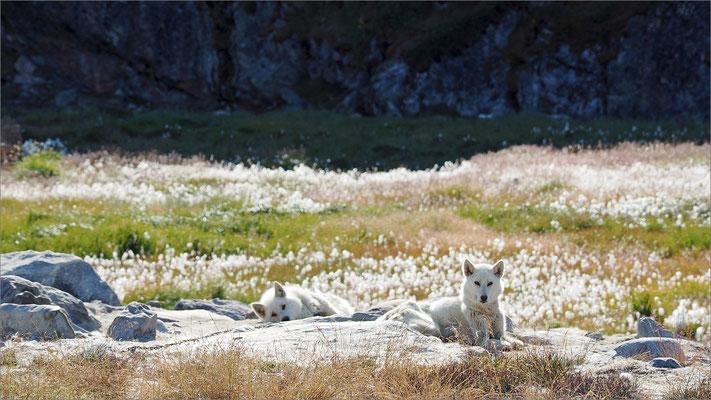 Ilulissat - Schlittenhunde