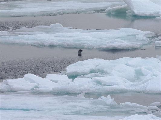 Packeis nördlich von Spitzbergen mit Seehund
