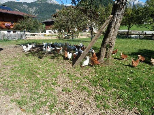 Unsere glückliche Hühnerschar - da schmeckt auch das Frühstücksei.