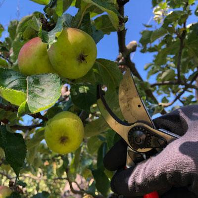 Fruchtbehangenen Apfelbaum schneiden