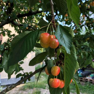 Kirschbaum mit Kirschen