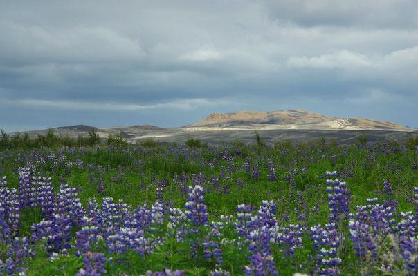 Lupinen vor Hekla